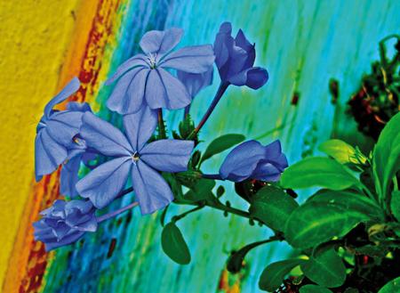 regenbogenblume
